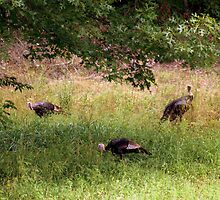 Wild Turkeys by Annlynn Ward
