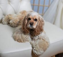 Tollie the cocker spaniel by Halobrianna