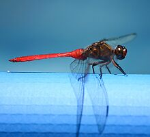 Dragonfly by Tom Godfrey