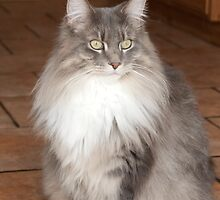 Maine Coon Cat by elainejhillson