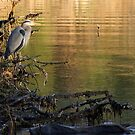 great blue heron by TerrillWelch