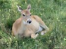 A Comfortable Spot - Doe by Barberelli