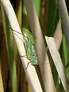 Katydid by Barberelli