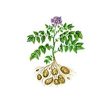 Potato (Solanum tuberosum) Photographic Print