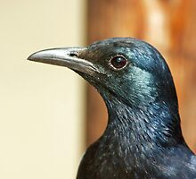 Glossy Starling by jaconm
