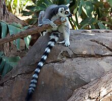 Madagascar Ring-tailed Lemur by jaconm