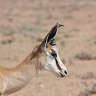 Springbok Pride by jaconm