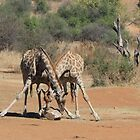 Giraffes sharing by jaconm