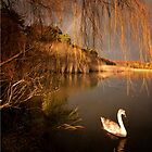 Swan 3 by banny