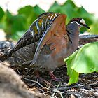 Common Bronzewing Pigeon by Ian Berry