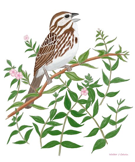 Song sparrow by Walter Colvin