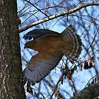 Red Shouldered Hawk by Stuart Hagan