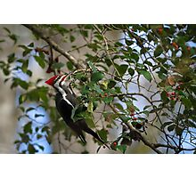 Pileated Woodpecker During South Carolina Winter Photographic Print