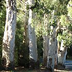 River Red Gums by QuirkyBird