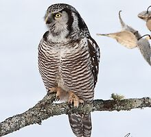 The Pensive Northern Hawk Owl by DigitallyStill