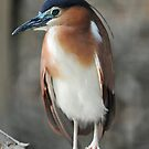 Nankeen Night Heron - Singapore (5) by Ralph de Zilva