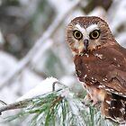 Saw-whet Owl by Nancy Barrett
