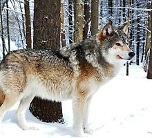 Timber Wolf by Nancy Barrett