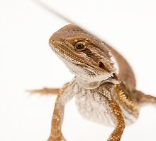 Bearded Dragon by Ashley Beolens
