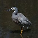 The White Faced Heron by Lance Leopold