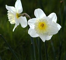 White Daffodils by AnnDixon