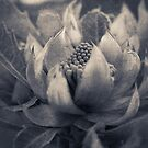 Waratah by Andrew Bradsworth