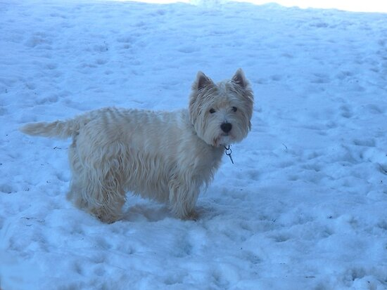 I am a West Highland White Terrier!!! by MarianBendeth