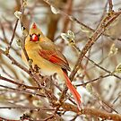 female cardinal 3 2012 by leftysphotos
