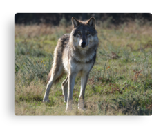 NORTH AMERICAN TIMBER WOLF Canvas Print
