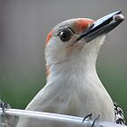 Red-Bellied Woodpecker by Gretchen Dunham