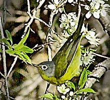 Nashville Warbler by Rupert Mcgrath