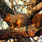 Fox Squirrel by DonCondley