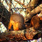 Fox Squirrel Scratching An Itch by DonCondley