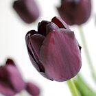 Purple Tulips by Greg Morris