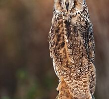 Long Eared Owl. by Mark Hughes