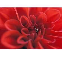 Red Dahlia with Inch worm Photographic Print