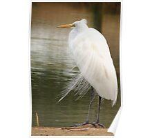 Great  White Egret (Breeding) Poster