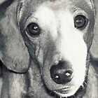 Puppy Dachshund  by co0kiem0nster