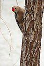 Gila Woodpecker (Male) ~ Curious by Kimberly Chadwick