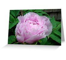 Pink Tree Peony Blossom Greeting Card