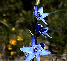 Blue Lady Orchid, Thelymitra crinita by Julia Harwood