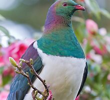 New Zealand Pigeon by Kimball Chen