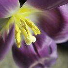 Tulips by karina5