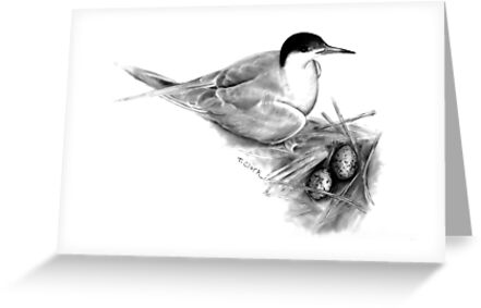 Common Tern (Sterna hirundo) by Tamara Clark