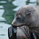 Fur Seal by elainejhillson