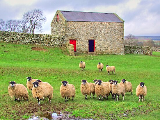 Sheep!!!!! - Wensleydale - HDR by Colin J Williams Photography