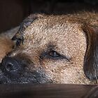 Border Terrier by AmandaJanePhoto