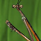 Stick mantis by jimmy hoffman
