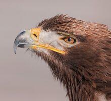 Steppe x Golden Eagle hybrid by (Tallow) Dave  Van de Laar