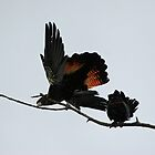 A Pair of Playful Black Cockatoos by STHogan